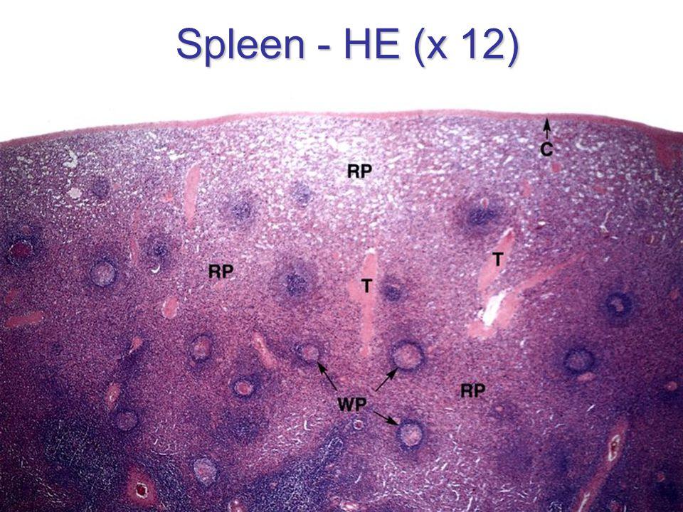 Spleen - HE (x 12)