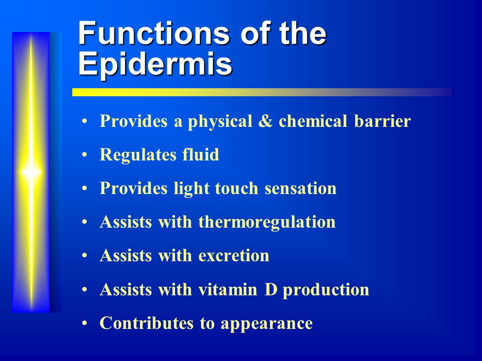 Functions of the Epidermis Provides a physical & chemical barrier Regulates fluid Provides light touch sensation Assists with thermoregulation Assists with excretion Assists with vitamin D production Contributes to appearance