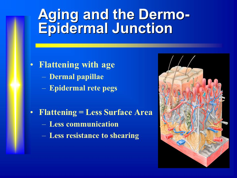 Aging and the Dermo- Epidermal Junction Flattening with age –Dermal papillae –Epidermal rete pegs Flattening = Less Surface Area –Less communication –Less resistance to shearing