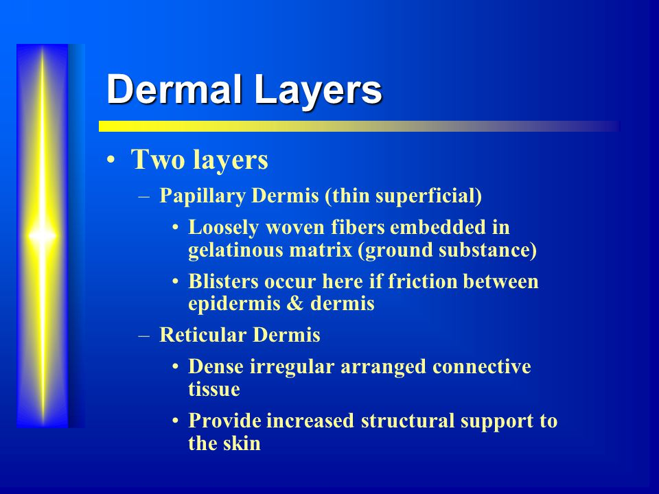 Dermal Layers Two layers –Papillary Dermis (thin superficial) Loosely woven fibers embedded in gelatinous matrix (ground substance) Blisters occur here if friction between epidermis & dermis –Reticular Dermis Dense irregular arranged connective tissue Provide increased structural support to the skin