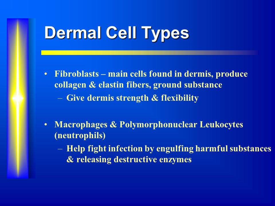 Dermal Cell Types Fibroblasts – main cells found in dermis, produce collagen & elastin fibers, ground substance –Give dermis strength & flexibility Macrophages & Polymorphonuclear Leukocytes (neutrophils) –Help fight infection by engulfing harmful substances & releasing destructive enzymes