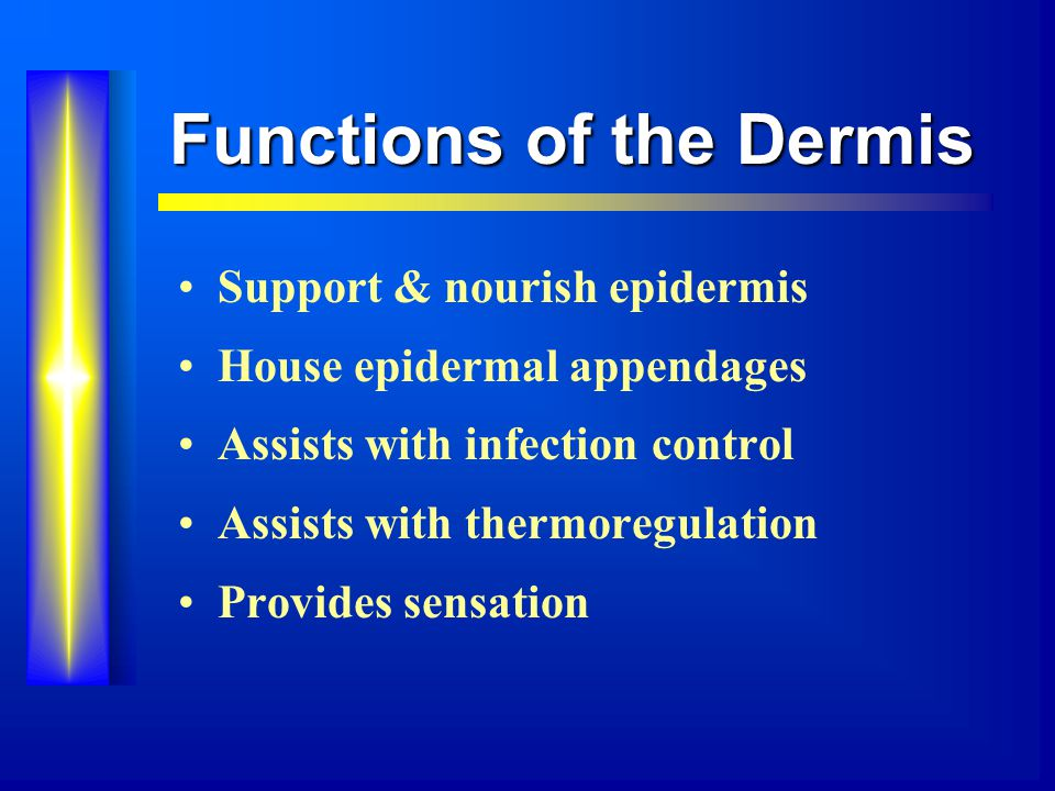 Functions of the Dermis Support & nourish epidermis House epidermal appendages Assists with infection control Assists with thermoregulation Provides sensation