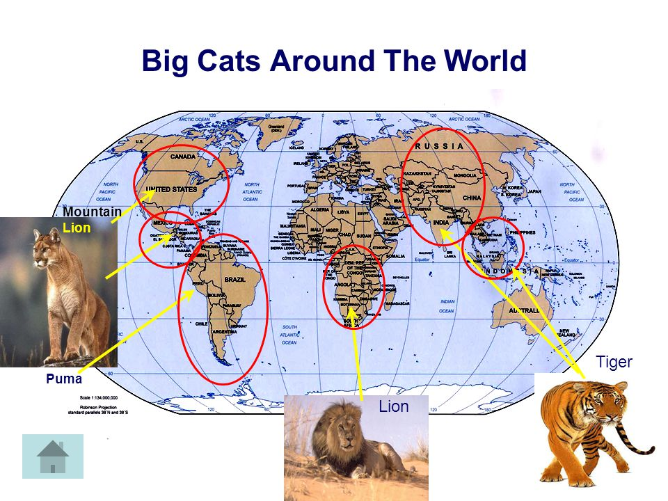 Cat Map Tiger Facts Sounds Cat Pictures Web By: Steve Simon