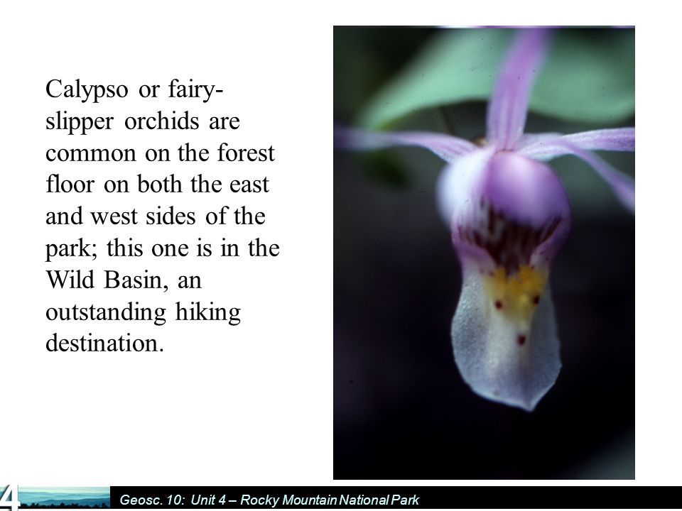Geosc. 10: Unit 4 – Rocky Mountain National Park Calypso or fairy- slipper orchids are common on the forest floor on both the east and west sides of t