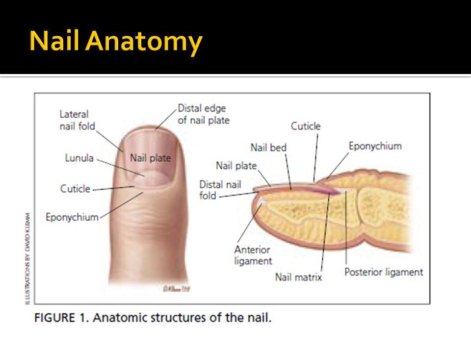  Fingernails grow 2 -3 mm a month or 0.1 – 0.15 mm a day  Toenails grow 1 mm a month