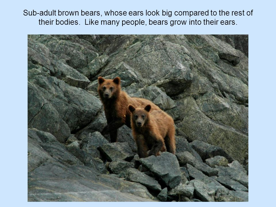 Sub-adult brown bears, whose ears look big compared to the rest of their bodies. Like many people, bears grow into their ears.