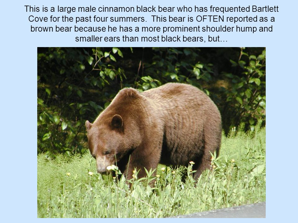 This is a large male cinnamon black bear who has frequented Bartlett Cove for the past four summers. This bear is OFTEN reported as a brown bear becau