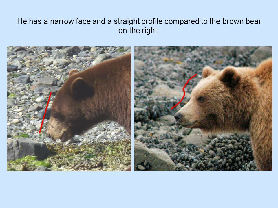 He has a narrow face and a straight profile compared to the brown bear on the right.
