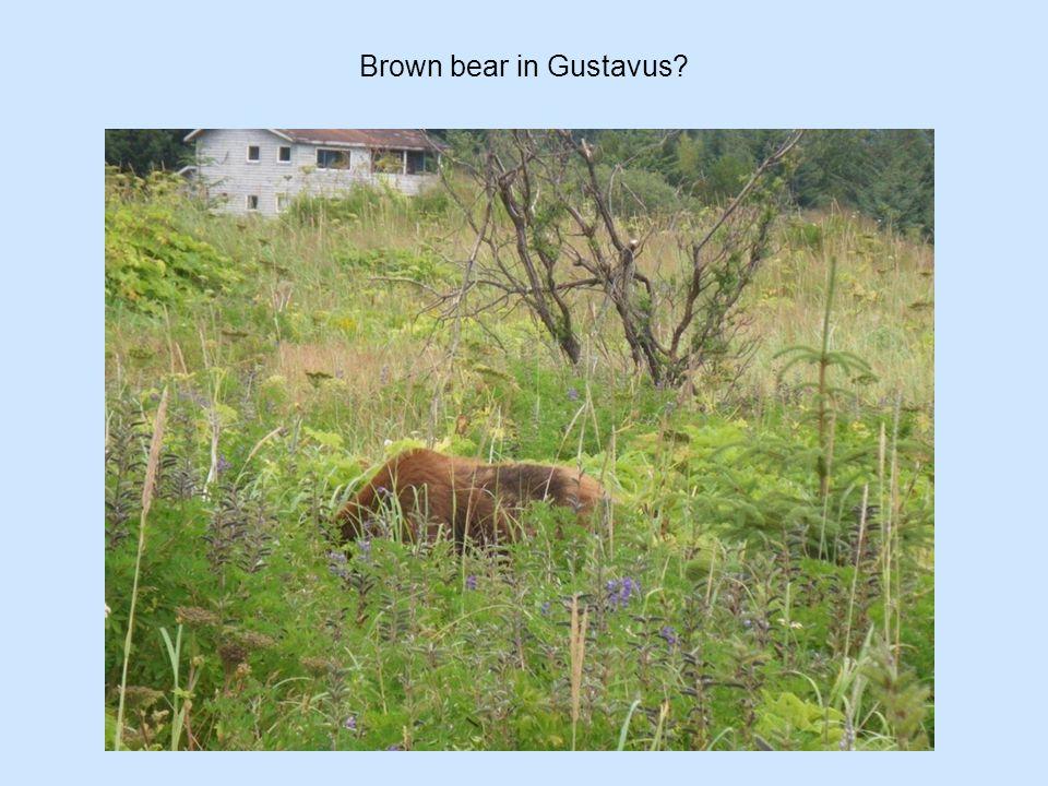 Brown bear in Gustavus