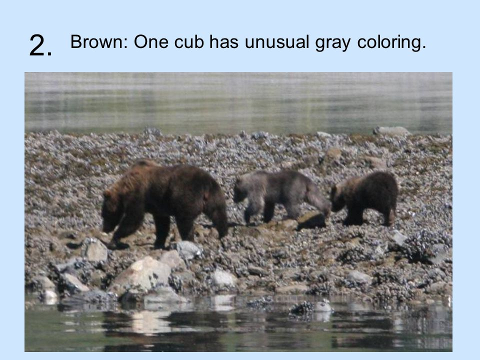2. Brown: One cub has unusual gray coloring.