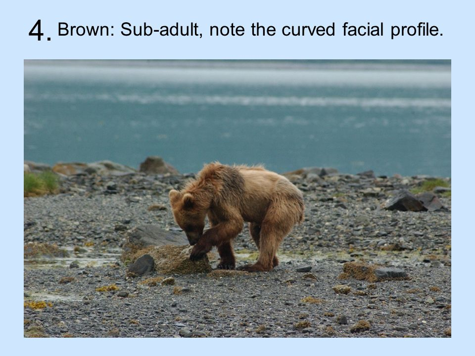 4. Brown: Sub-adult, note the curved facial profile.