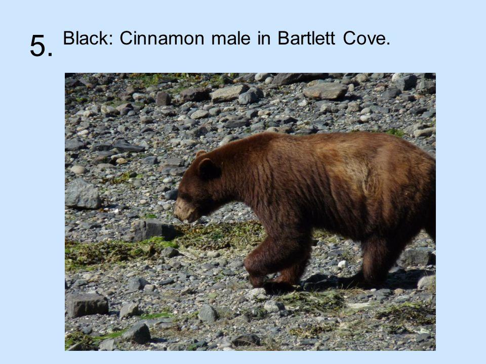 5. Black: Cinnamon male in Bartlett Cove.