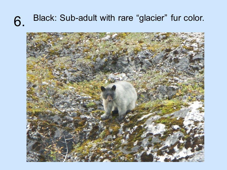 6. Black: Sub-adult with rare glacier fur color.