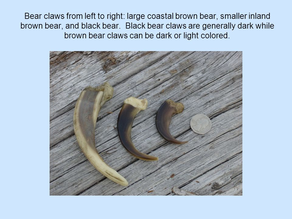 Bear claws from left to right: large coastal brown bear, smaller inland brown bear, and black bear. Black bear claws are generally dark while brown be