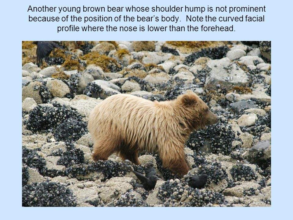 Another young brown bear whose shoulder hump is not prominent because of the position of the bear's body.