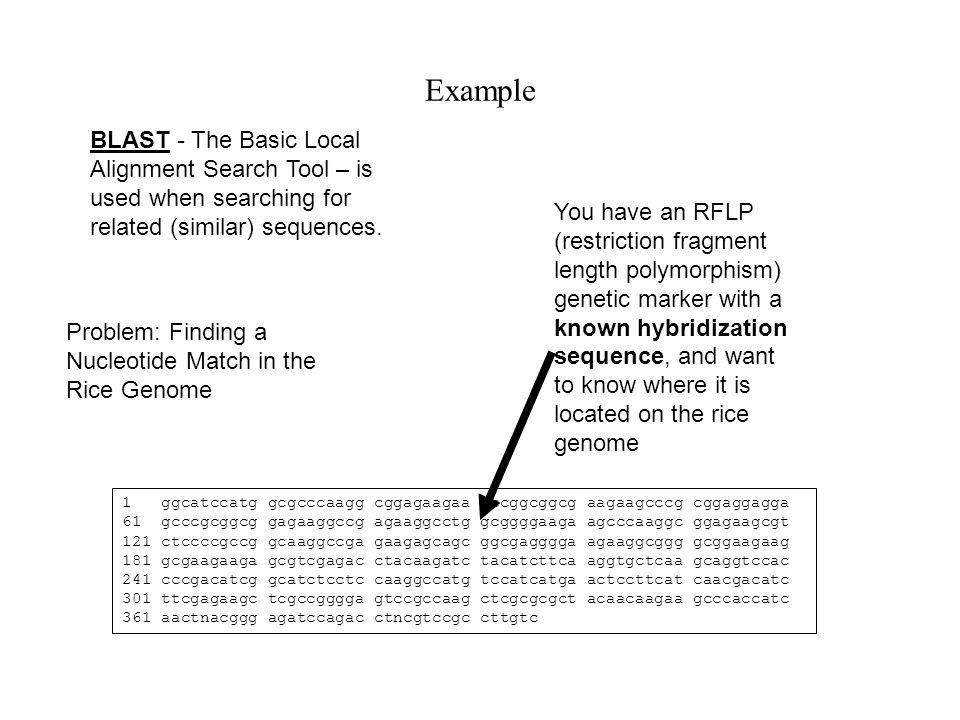 Example You have an RFLP (restriction fragment length polymorphism) genetic marker with a known hybridization sequence, and want to know where it is located on the rice genome 1 ggcatccatg gcgcccaagg cggagaagaa gccggcggcg aagaagcccg cggaggagga 61 gcccgcggcg gagaaggccg agaaggcctg gcggggaaga agcccaaggc ggagaagcgt 121 ctccccgccg gcaaggccga gaagagcagc ggcgagggga agaaggcggg gcggaagaag 181 gcgaagaaga gcgtcgagac ctacaagatc tacatcttca aggtgctcaa gcaggtccac 241 cccgacatcg gcatctcctc caaggccatg tccatcatga actccttcat caacgacatc 301 ttcgagaagc tcgccgggga gtccgccaag ctcgcgcgct acaacaagaa gcccaccatc 361 aactnacggg agatccagac ctncgtccgc cttgtc Problem: Finding a Nucleotide Match in the Rice Genome BLASTBLAST - The Basic Local Alignment Search Tool – is used when searching for related (similar) sequences.
