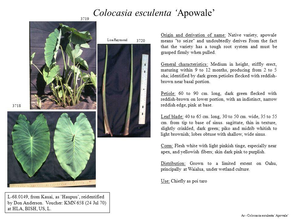 3718 3719 3720 Lisa Raymond Colocasia esculenta 'Apowale' L-68.0149, from Kauai, as `Haupuu', reidentified by Don Anderson.