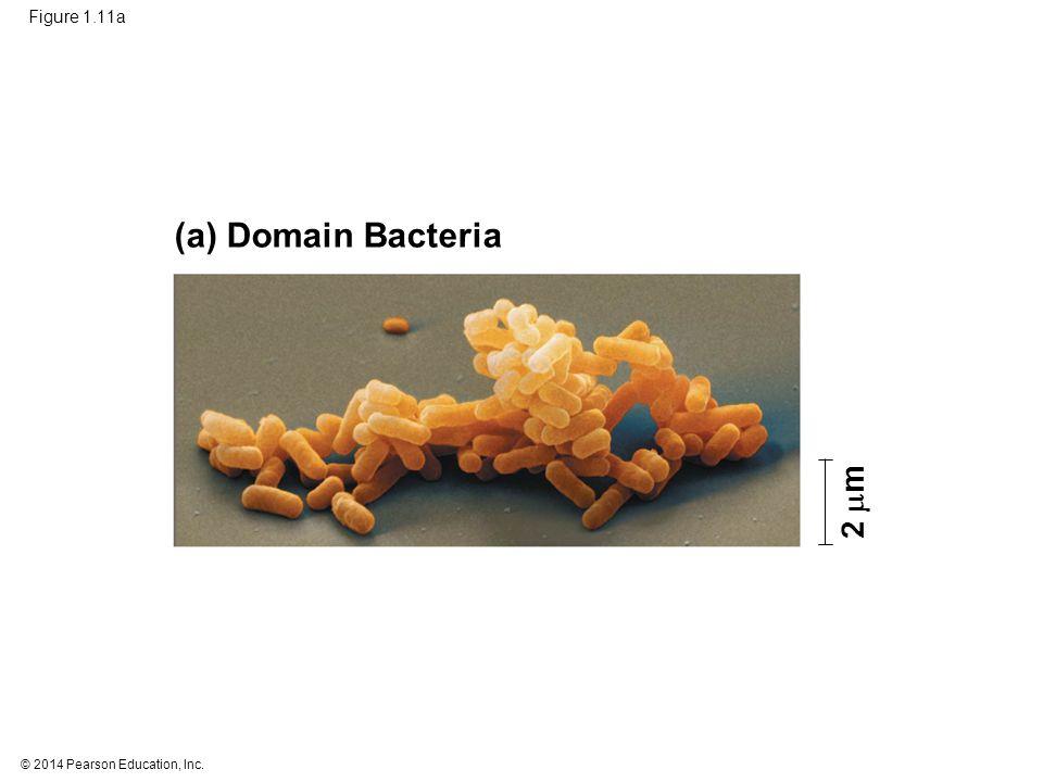 © 2014 Pearson Education, Inc. Figure 1.11a (a) Domain Bacteria 2  m