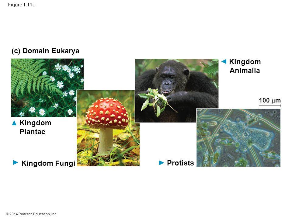 © 2014 Pearson Education, Inc. Figure 1.11c Kingdom Fungi (c) Domain Eukarya Kingdom Plantae Protists Kingdom Animalia 100  m