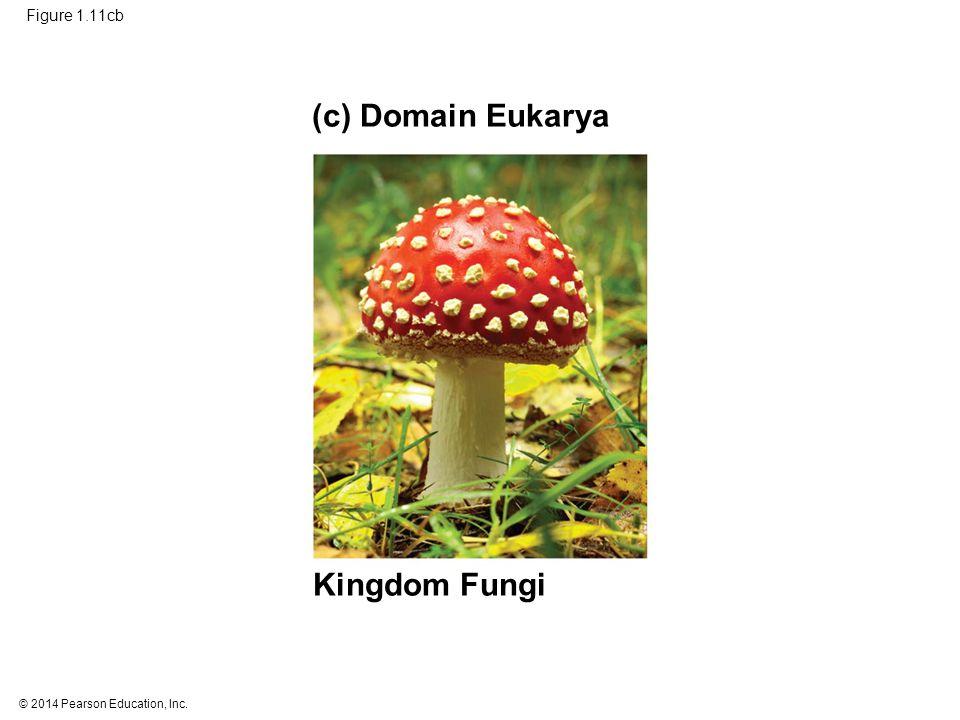 © 2014 Pearson Education, Inc. Figure 1.11cb Kingdom Fungi (c) Domain Eukarya