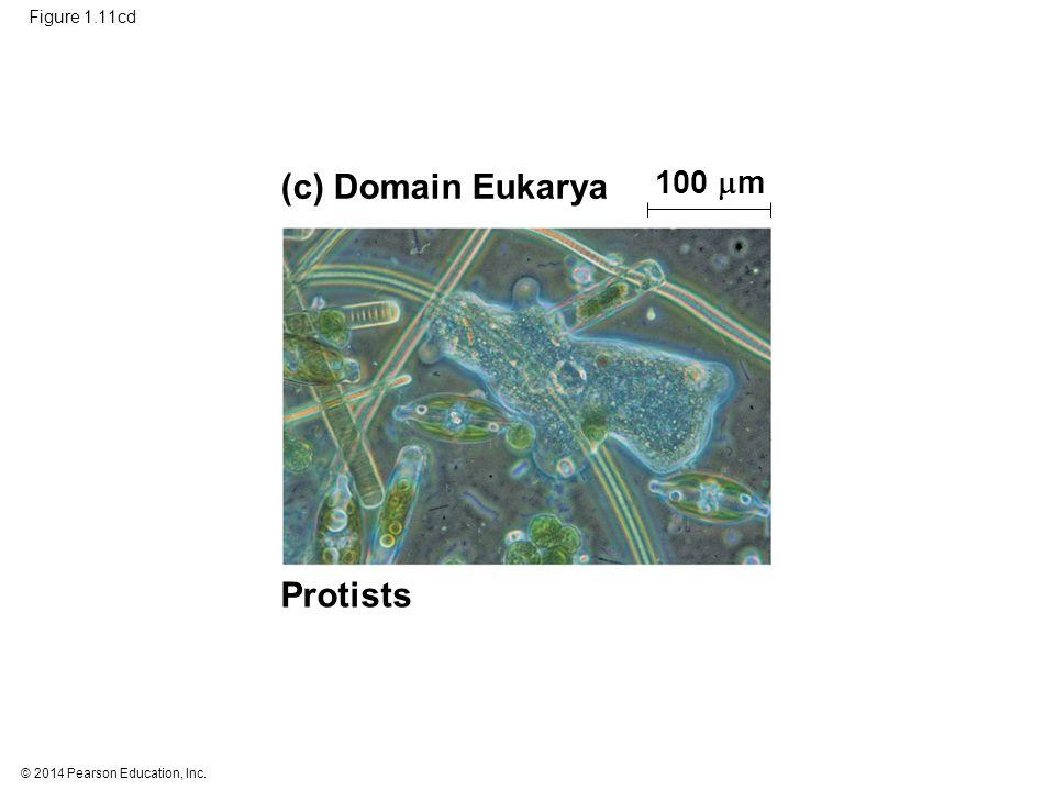 © 2014 Pearson Education, Inc. Figure 1.11cd (c) Domain Eukarya Protists 100  m