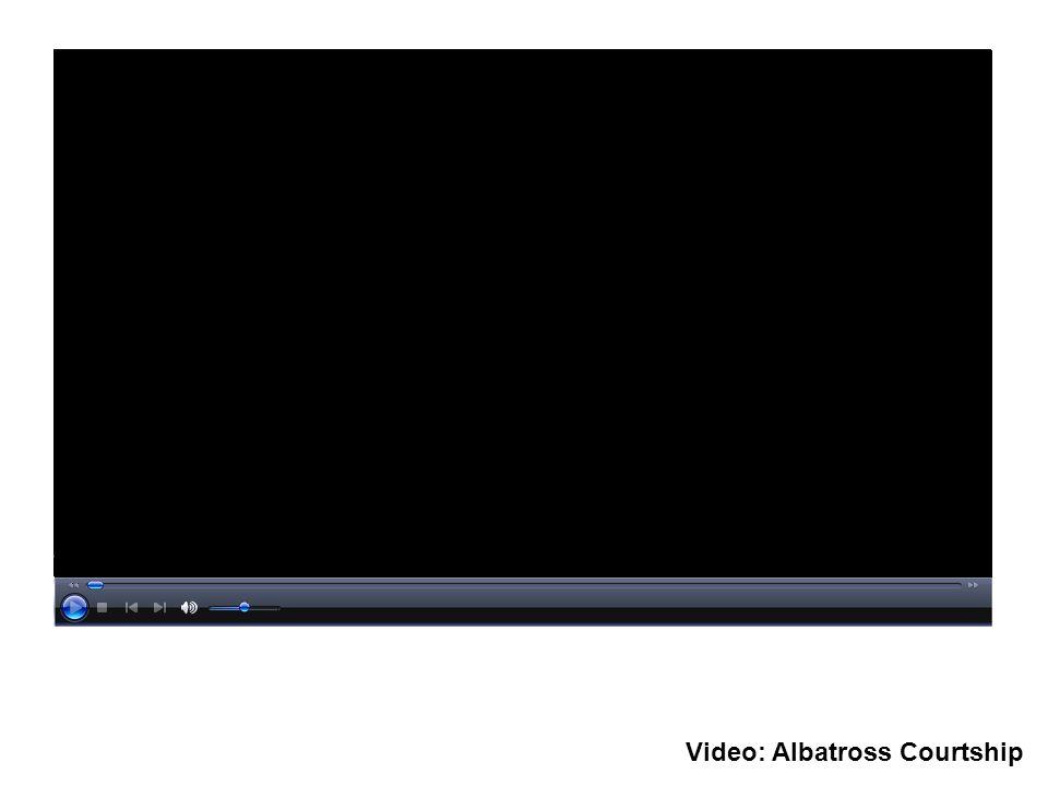 Video: Albatross Courtship