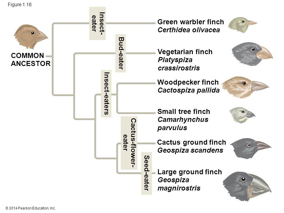 © 2014 Pearson Education, Inc. Figure 1.16 Green warbler finch Certhidea olivacea Vegetarian finch Platyspiza crassirostris Woodpecker finch Cactospiz
