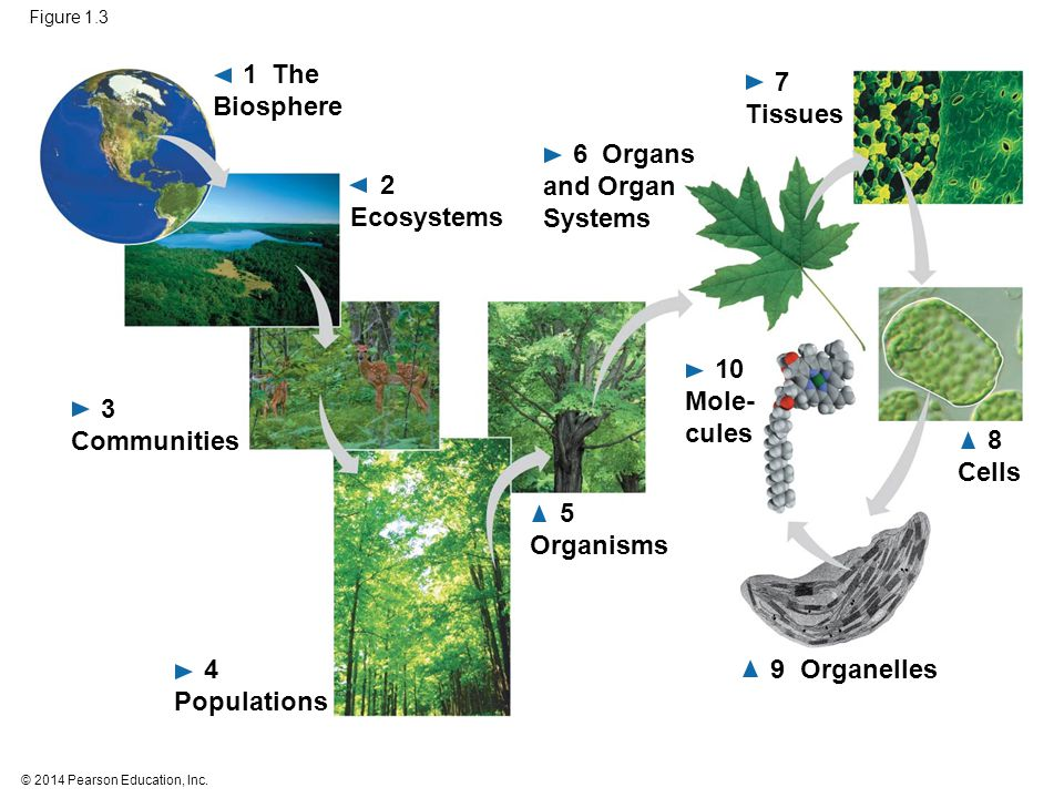 © 2014 Pearson Education, Inc. Figure 1.3 9 Organelles 1 The Biosphere 5 Organisms 4 Populations 3 Communities 8 Cells 10 Mole- cules 2 Ecosystems 7 T