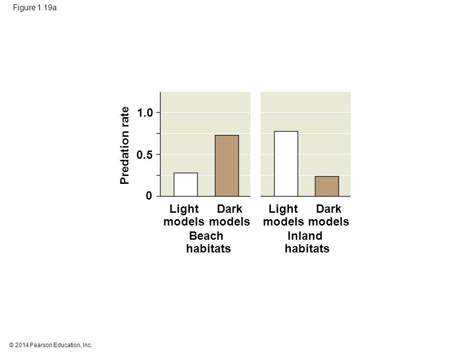 © 2014 Pearson Education, Inc. Figure 1.19a Beach habitats Inland habitats Light models Dark models Light models Dark models Predation rate 1.0 0.5 0