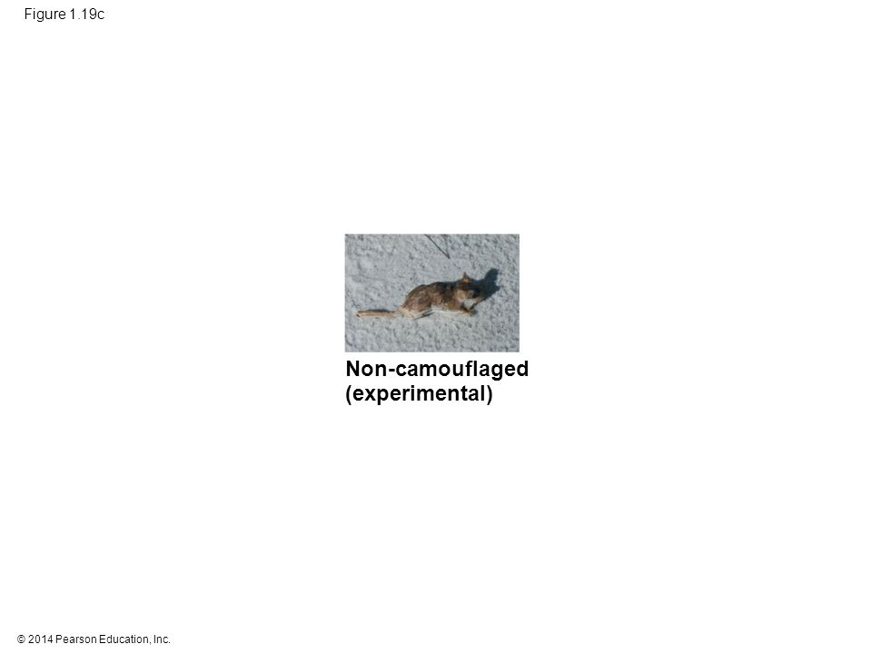© 2014 Pearson Education, Inc. Figure 1.19c Non-camouflaged (experimental)