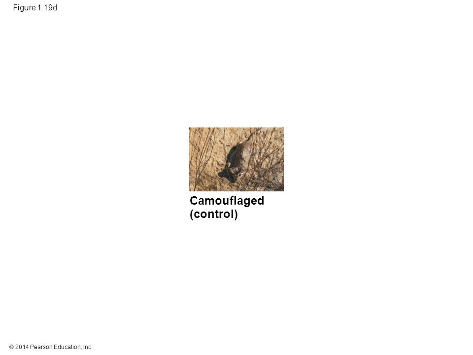 © 2014 Pearson Education, Inc. Figure 1.19d Camouflaged (control)