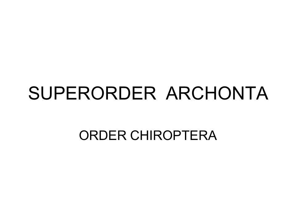 SUPERORDER ARCHONTA ORDER CHIROPTERA