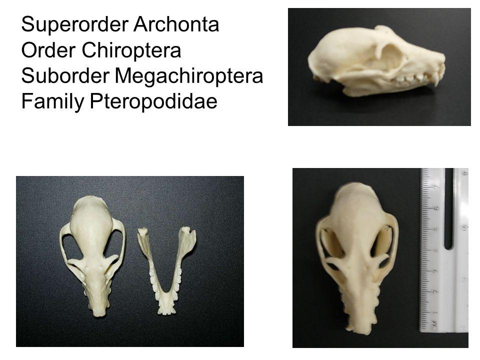 Superorder Archonta Order Chiroptera Suborder Megachiroptera Family Pteropodidae