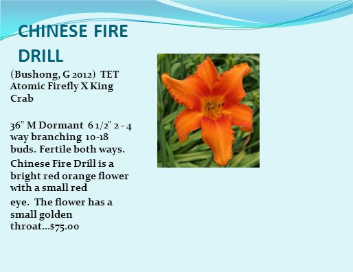 CHINESE FIRE DRILL (Bushong, G 2012) TET Atomic Firefly X King Crab 36 M Dormant 6 1/2 2 - 4 way branching 10-18 buds.