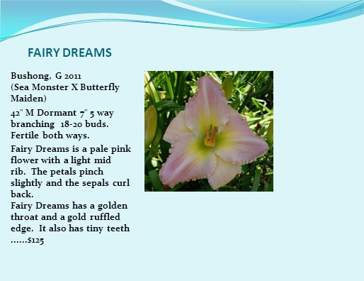 FAIRY DREAMS Bushong, G 2011 (Sea Monster X Butterfly Maiden) 42 M Dormant 7 5 way branching 18-20 buds.