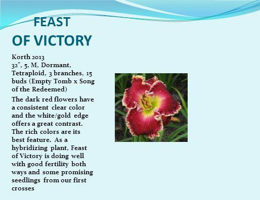 FEAST OF VICTORY Korth 2013 32 , 5, M, Dormant, Tetraploid, 3 branches, 15 buds (Empty Tomb x Song of the Redeemed) The dark red flowers have a consistent clear color and the white/gold edge offers a great contrast.