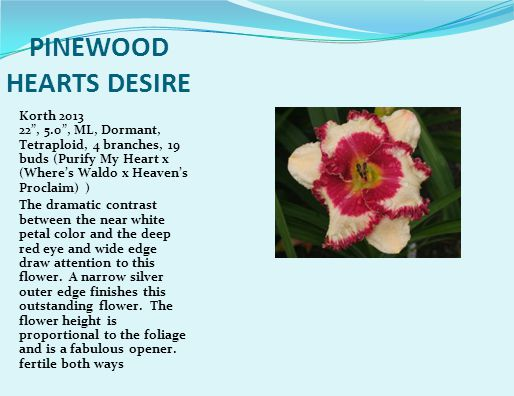 PINEWOOD HEARTS DESIRE Korth 2013 22 , 5.0 , ML, Dormant, Tetraploid, 4 branches, 19 buds (Purify My Heart x (Where's Waldo x Heaven's Proclaim) ) The dramatic contrast between the near white petal color and the deep red eye and wide edge draw attention to this flower.