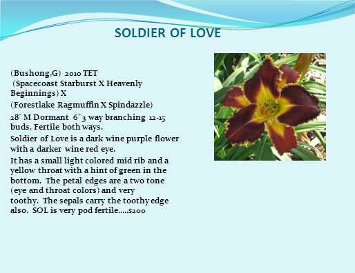 SOLDIER OF LOVE (Bushong,G) 2010 TET (Spacecoast Starburst X Heavenly Beginnings) X (Forestlake Ragmuffin X Spindazzle) 28 M Dormant 6 3 way branching 12-15 buds.