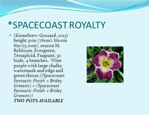 *SPACECOAST ROYALTY (Kinnebrew-Gossard, 2013) height 30in (76cm), bloom 6in (15.0cm), season M, Rebloom, Evergreen, Tetraploid, Fragrant, 30 buds, 4 branches, Wine purple with large chalky watermark and edge and green throat.((Spacecoast Fantastic Finish × Bridey Greeson) × (Spacecoast Fantastic Finish × Bridey Greeson)) TWO POTS AVAILABLE