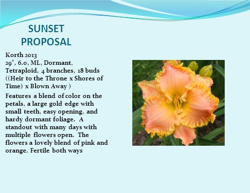 SUNSET PROPOSAL Korth 2013 29 , 6.0, ML, Dormant, Tetraploid, 4 branches, 18 buds ((Heir to the Throne x Shores of Time) x Blown Away ) Features a blend of color on the petals, a large gold edge with small teeth, easy opening, and hardy dormant foliage.
