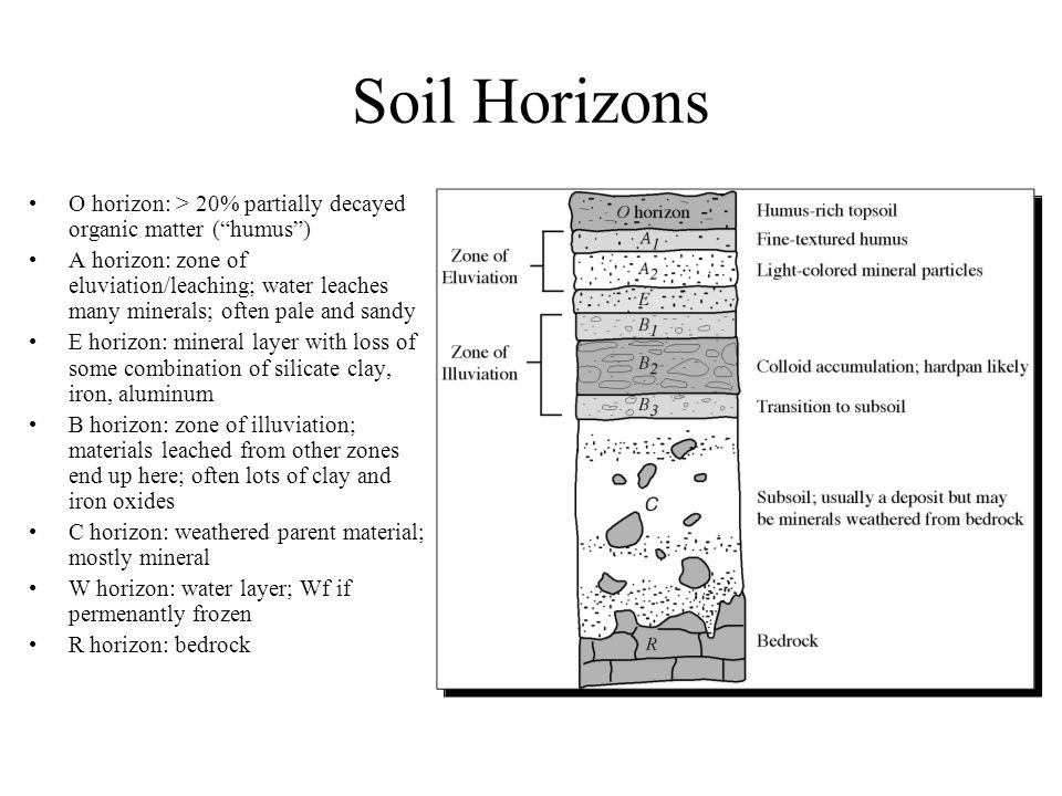 Soil Horizons O horizon: > 20% partially decayed organic matter ( humus ) A horizon: zone of eluviation/leaching; water leaches many minerals; often pale and sandy E horizon: mineral layer with loss of some combination of silicate clay, iron, aluminum B horizon: zone of illuviation; materials leached from other zones end up here; often lots of clay and iron oxides C horizon: weathered parent material; mostly mineral W horizon: water layer; Wf if permenantly frozen R horizon: bedrock