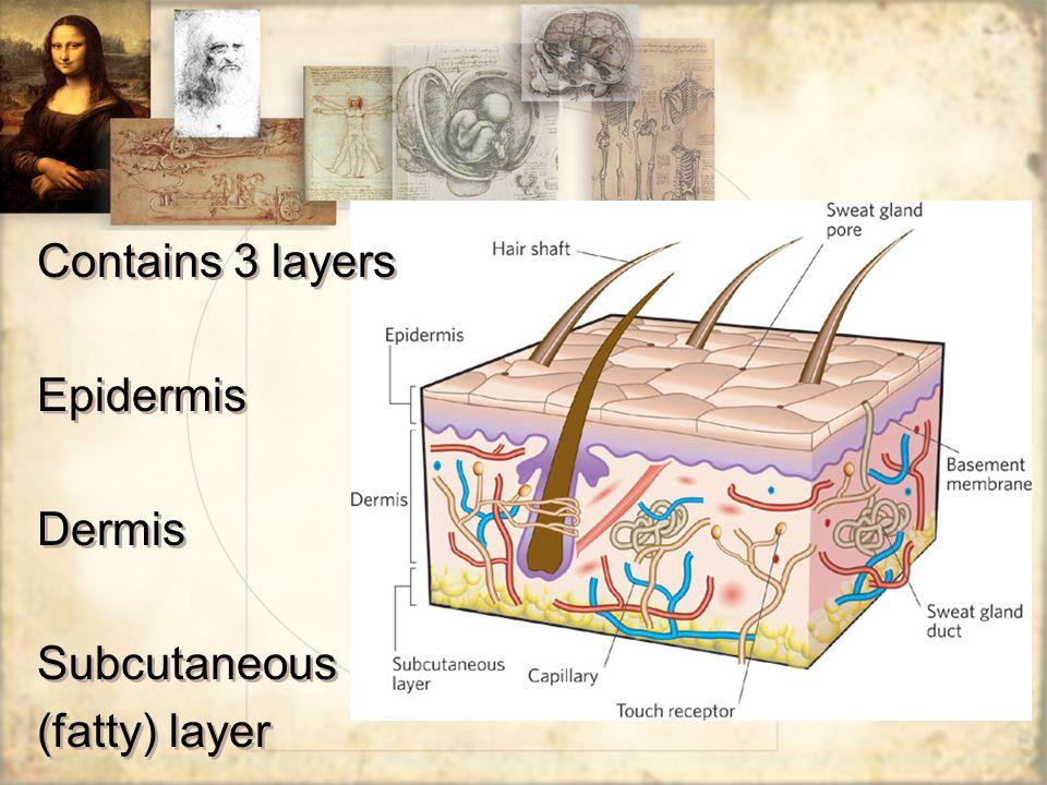Contains 3 layers Epidermis Dermis Subcutaneous (fatty) layer Contains 3 layers Epidermis Dermis Subcutaneous (fatty) layer