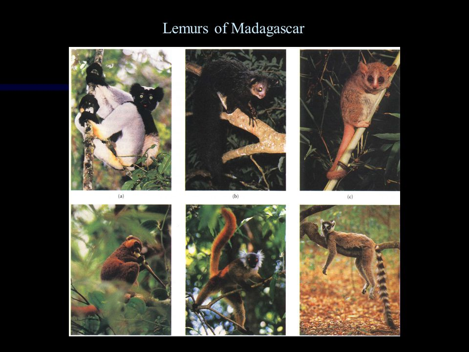 Directional Selection: Mimicry (mimic other animal)
