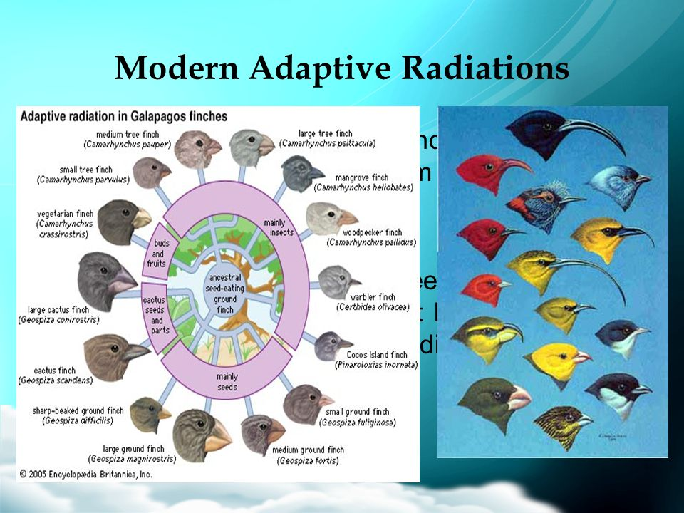 Modern Adaptive Radiations –Both Galápagos finches and Hawaiian honeycreepers evolved from a single bird species. –Both finches and honeycreepers evol
