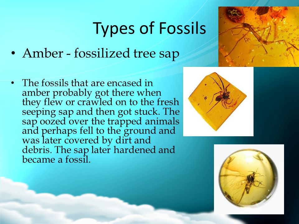 Types of Fossils Amber - fossilized tree sap The fossils that are encased in amber probably got there when they flew or crawled on to the fresh seepin
