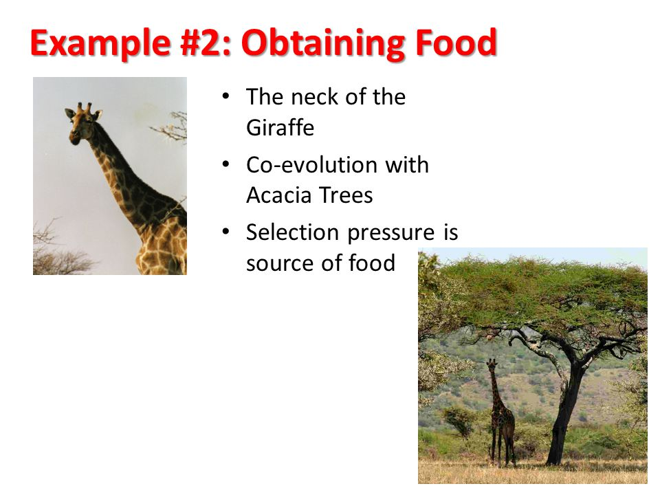 Example #2: Obtaining Food The neck of the Giraffe Co-evolution with Acacia Trees Selection pressure is source of food