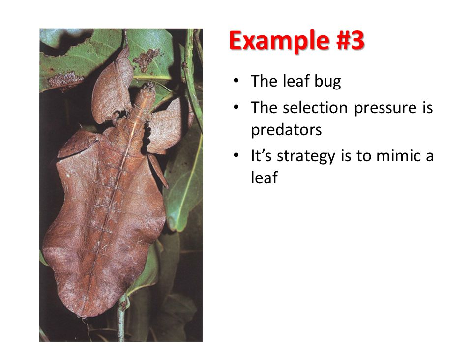 Example #3 The leaf bug The selection pressure is predators It's strategy is to mimic a leaf