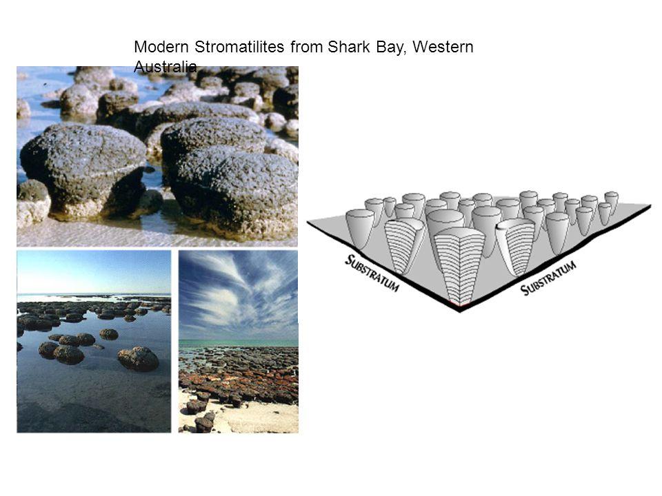 Modern Stromatilites from Shark Bay, Western Australia