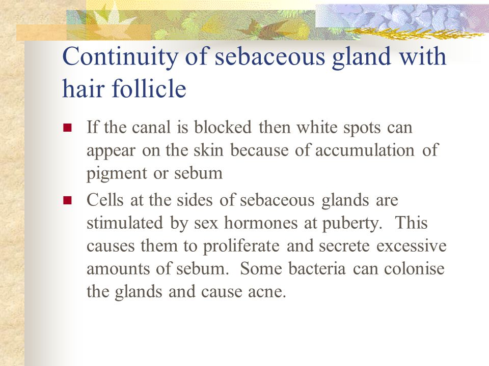 Continuity of sebaceous gland with hair follicle If the canal is blocked then white spots can appear on the skin because of accumulation of pigment or sebum Cells at the sides of sebaceous glands are stimulated by sex hormones at puberty.