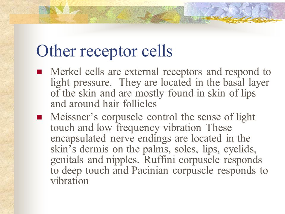Other receptor cells Merkel cells are external receptors and respond to light pressure.